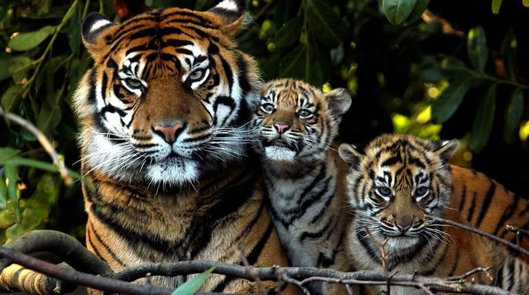 Фильмы про тигров